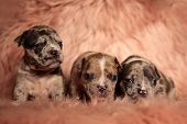 Adorable American Bully puppies curiously looking around while standing and lying down on pink furry poster