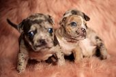 Clumsy American Bully puppies with blue eyes sitting and standing on pink furry background while cur poster