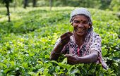 Tea Picking In Sri Lanka Hill Country