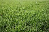Texture Of Green Grass. Green Soccer Grass Background. Natural Grass Side View. Fresh Cut Grass. Law poster
