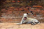 White Stray Dog Resting On A Red Brick Wall poster