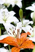 foto of asiatic lily  - One of deep orange asiatic lily bloom in front of white lily background