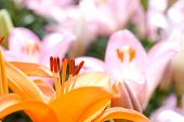 stock photo of asiatic lily  - Deep orange asiatic lily bloom in front of pink lily background