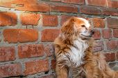 Dog Sitting Near Brick Wall. Closeup Of A Mix Breed Red Dog Or Mongrel Mutt. Homeless Lonely Animal  poster