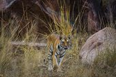 A Royal Bengal Tiger On Stroll For Scent Marking In His Territory. A Head On Shot Of A Pregnant Tigr poster