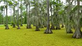 Bald Cypress trees in Louisiana Marshes