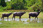 pic of female buffalo  - Buffalo in wildlife - JPG