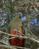 stock photo of king parrot  - female king parrot Alisterus scapularis in the wild in an australian bush setting - JPG