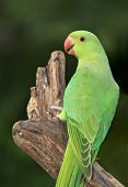 stock photo of ringneck  - A female Ringnecked Parakeet photographed in Dubai in the United Arab Emirates - JPG
