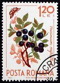 Postage stamp Romania 1964 European Blueberry, Vaccinium Myrtill