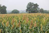Field of Sorghum bicolor Jawar pune Maharashtra India