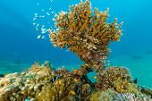 Clownfish And Lionfish Swim Around A Hard Coral On A Reef