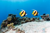A Pair Of Bannerfish Swim Over A Tropical Coral Reef