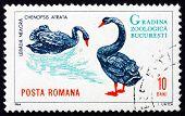 Postage stamp Romania 1964 Black Swans, Cygnus Atratus, Bird