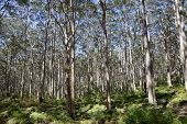 stock photo of naturalist  - Indigenous forest in the Leeuwin - JPG