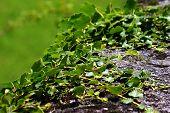 Green Creeping Ivy