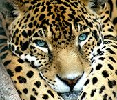 A Blue Eye Calm Jaguar Watching For Prey