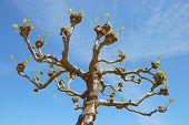 London Planetree Or Platanus X Acerifolia In Golden Gate Park