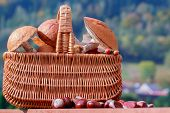 Mushrooms picking, season for mushrooms -  basket of picked fresh edible mushrooms