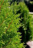Green Thuja orientalis
