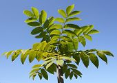 Young Manchurian walnut tree