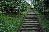 Steps at coffee plantation