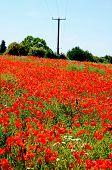 Poppy Field, Lichfield, England.