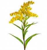 stock photo of ragweed  - Golden Rod Solidago virgaurea flower isolated on white background  - JPG