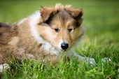 Long-haired collie puppy on meadow