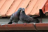 stock photo of pigeon  - two tender pigeon being affective on the roof - JPG