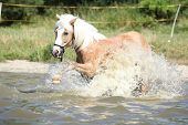 Young Haflinger Playing In The Water