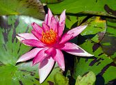 A beautiful light pink waterlily or lotus flower
