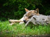 Wolf resting on a rock