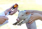 stock photo of squirting  - Veterinarian giving injection to piglet on farm - JPG