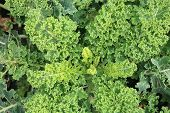 Curly Kale on the patch in the vegetable garden.
