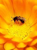 Bee In Yellow Flower