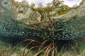 Shoal of fish in mangrove forest