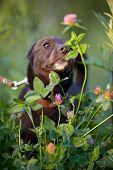 The Black Doggie Smells A Clover Flower.
