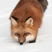 Red Fox (Vulpes vulpes) Looks Up From Snow