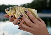 Crucian carp in young lady's hands, close-up