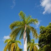 Tall Palm Trees Against A Blue Sky