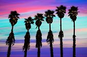 california sunset palm trees washingtonia western surf flavour in US