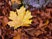 Autumn alamo yellow leaf in a beech fall forest in Pyrenees Ordesa Valley spain