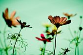 stock photo of cosmos  - cosmos flowers in sunset time on background  - JPG