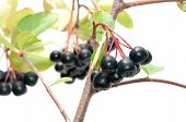 stock photo of chokeberry  - Branch black chokeberry close up it is isolated on a white background - JPG