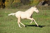 Nice Palomino Foal Running In Autumn