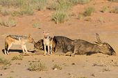 pic of jackal  - Hungry Black backed jackal eating on a hollow carcass in the dry desert with mate - JPG