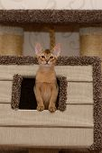 Portrait Of A Cute Abyssinian Kitten