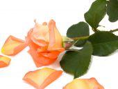 Rosa Rose mit gefallenen Blütenblättern