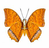 Malay Rajah Butterfly Lower Wing Profile In Natural Color Isolated On White Background